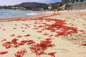 Pequeños cangrejos invaden las playas de Orange County