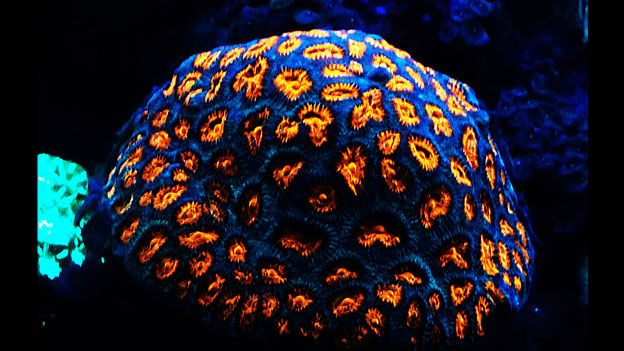 coral fluorescente
