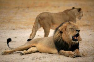 Zimbabue: creen que mataron a Jericó, el hermano del león Cecil