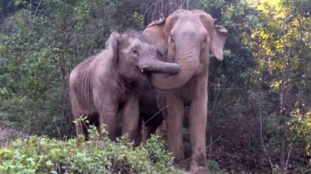 Tierno reencuentro de elefantes madre e hija luego de 4 años (VIDEO)