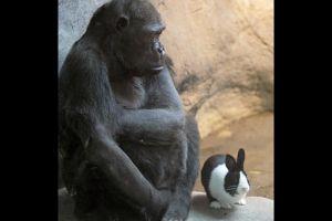 Misterios de la amistad: Conejo alegra a gorila