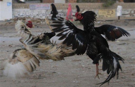 Decenas de personas apostaban ilegalmente miles de dólares en estos combates a muerte entre los animales.