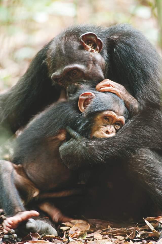 La madre Isha y el bebé Oscar en una escena de 'Chimpanzee', que se estrena hoy.