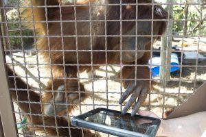 Orangutanes se comunican con iPad