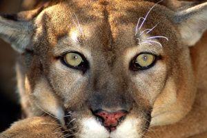 Sacrifican a Puma en Santa Mónica