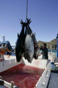 Pagan más de $3 millones de dólares por un atún en peligro de extinción