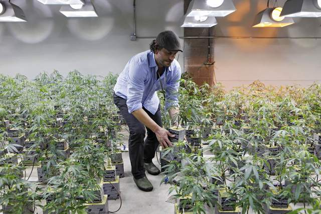 Según  las leyes federales en el año 1996 California se convirtió en el primer estado en legalizar la marihuana con fines medicinales.