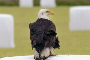 """Águila calva """"levanta el vuelo"""" en Florida"""