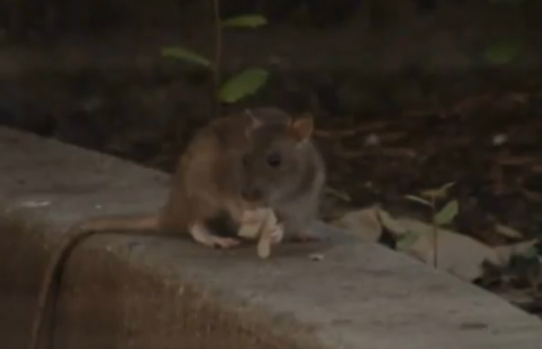 Videos: Ratas y coyotes invaden Houston