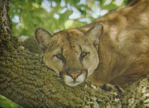 Imagen de televisión de un puma que fue muerto en Palo Alto, California.