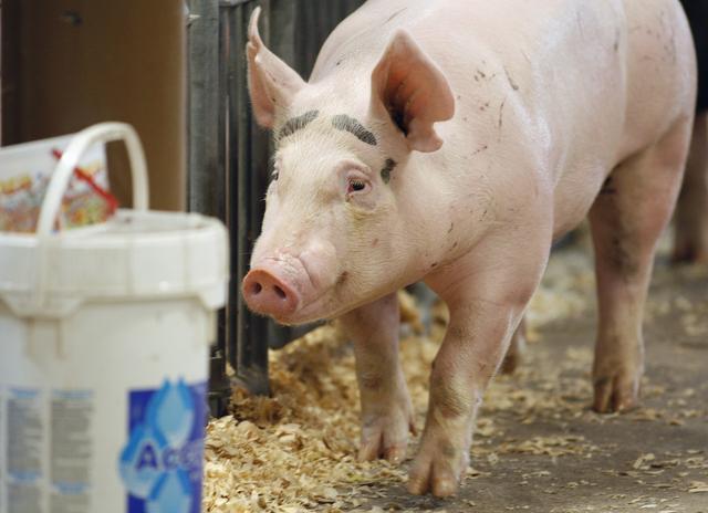 Influenza en cerdos  afectaría a personas
