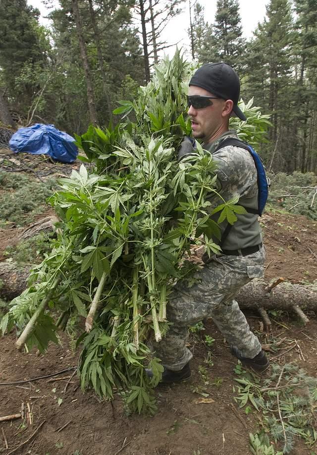 Destruyen enormes plantíos de marihuana en California