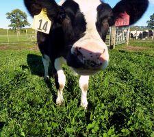 Daisy,  clonada contra alergia Daisy, una vaca clonada contra alergia a la leche