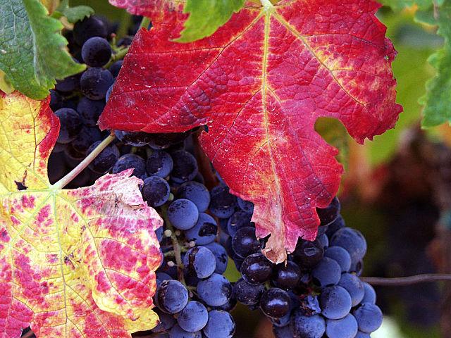 Bondades del aceite de semilla de uva en tu organismo y tu figura