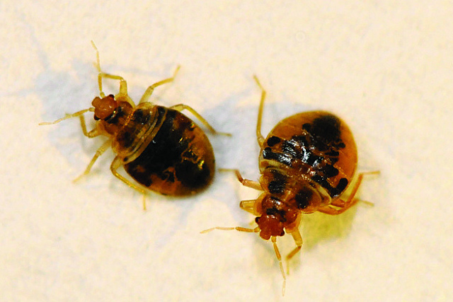 Bed bugs: how to recognize an infestation