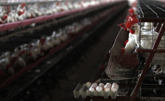 Gripe aviar se extiende      en estado Guanajuato