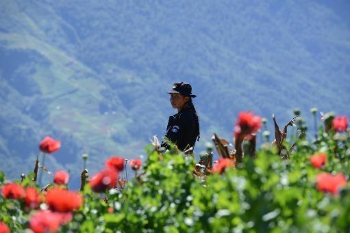 Destruyen 128 hectáreas de amapola en Guatemala