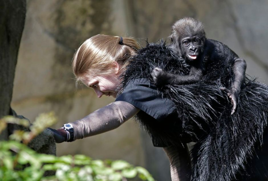 Bebé gorila criada por humanos prospera en Cincinnati