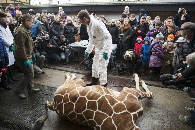 Sacrifican a jirafa bebé en Dinamarca