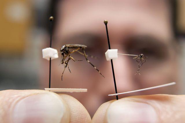 Ejemplar del mosquito Aedes aegypti trasmisor del dengue.