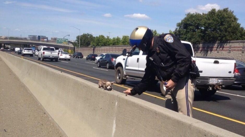 Chihuahua se salva de milagro de morir en autopista