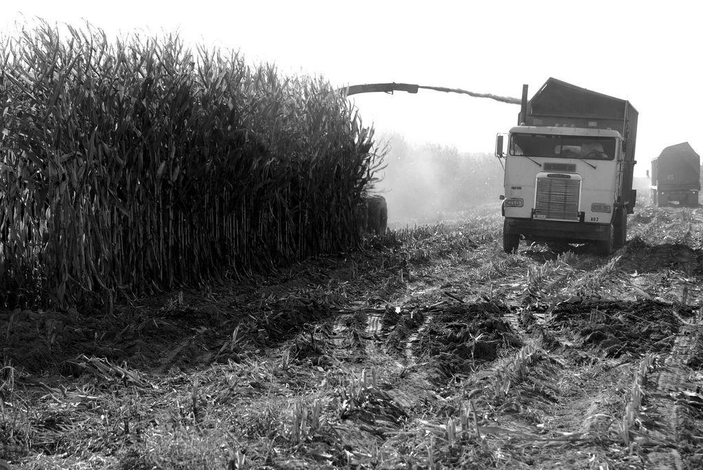 Cosechando maíz de manera mecánica en el Valle Central.