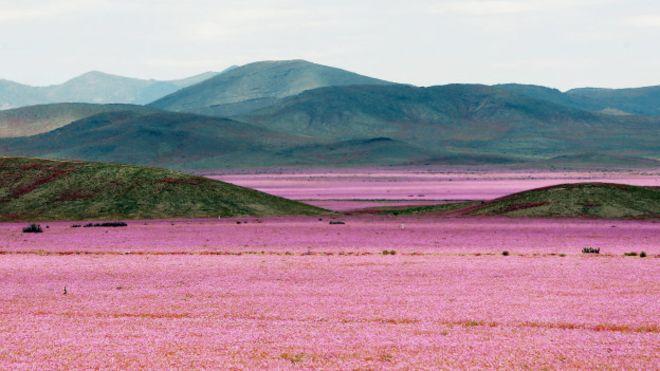 Por qué tiene tantas flores el desierto de Atacama, el lugar más seco del planeta