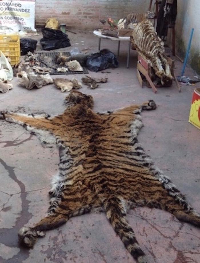 Pieles y cuerpos de animales exóticos son decomisados en Toluca