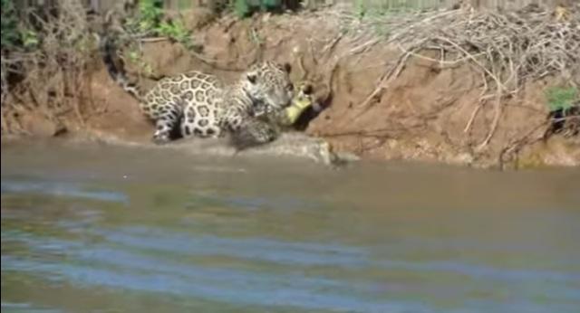 VIRAL: Jaguar se lanza al agua para cazar un caimán en Brasil (VIDEO)