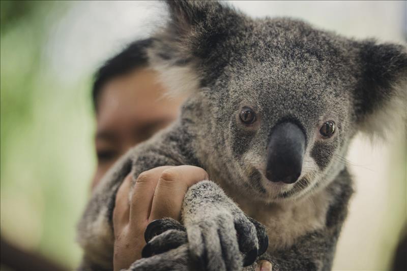 Un koala perdido en la ciudad