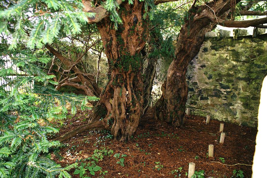 Uno de los troncos del tejo de Fortingall.