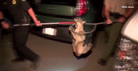 El puma cazaba un zorrillo en el área de San Dimas.