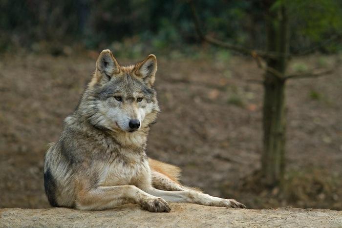Conoce ocho especies animales de México y el Mundo en peligro de extinción