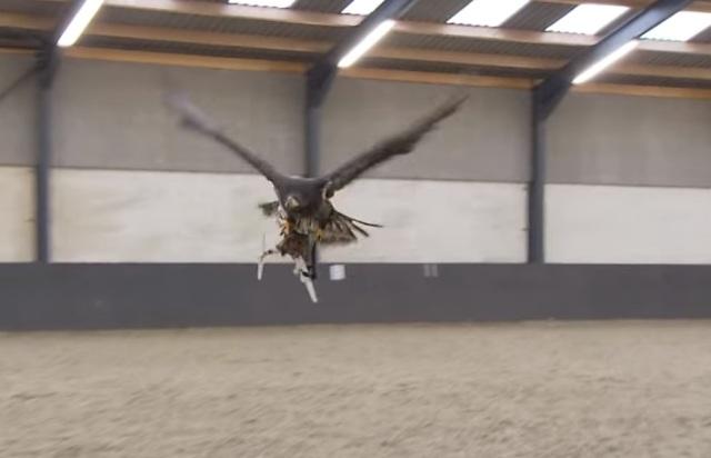 La policía de Holanda entrena águilas para capturar drones (VIDEO)