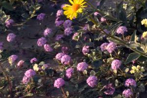 Video: El Valle de la Muerte, el lugar más seco en América del Norte, se llena de flores