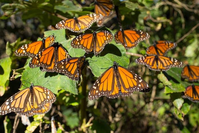 Video: El secreto del viaje de las mariposas monarca entre México y Canadá