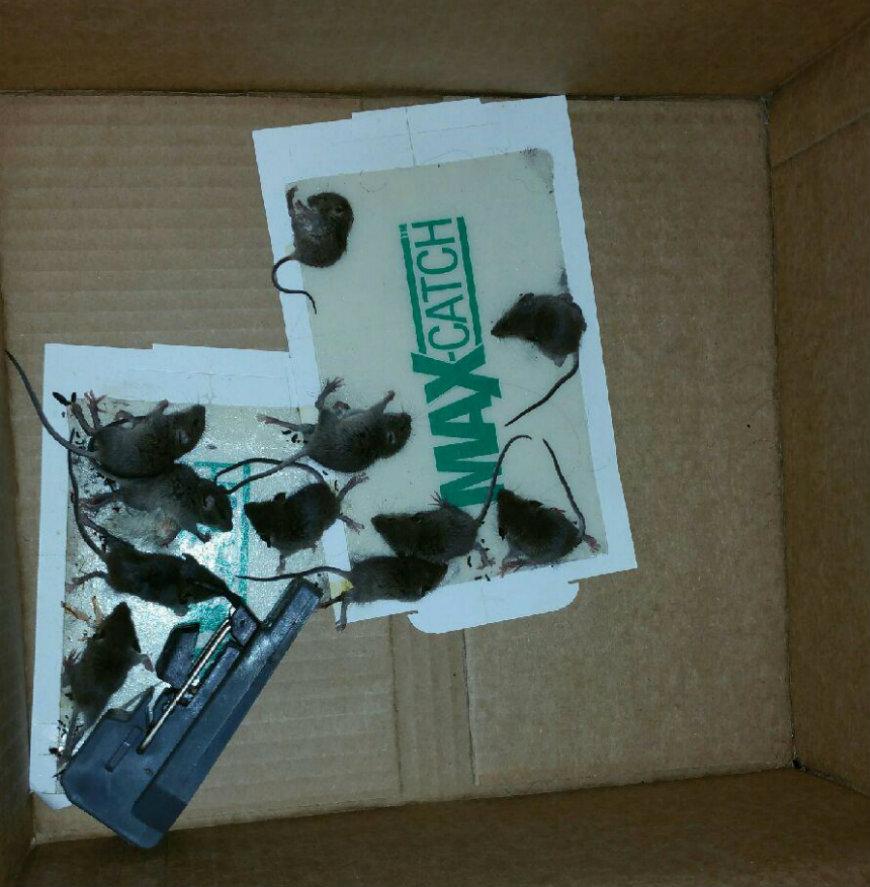 Ratones encontrados en el departamento de Margarita Matias