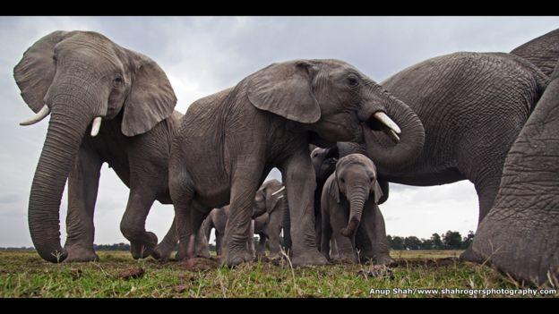 VÍDEO: Increíble reunión de elefantes para rendir honor al líder muerto