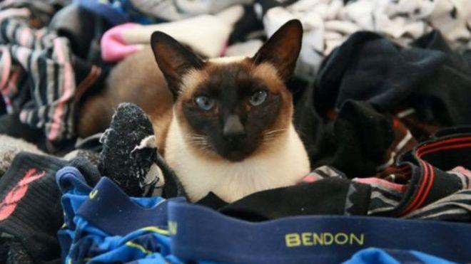 Esta gatita tiene una extraña obsesión por la ropa interior masculina