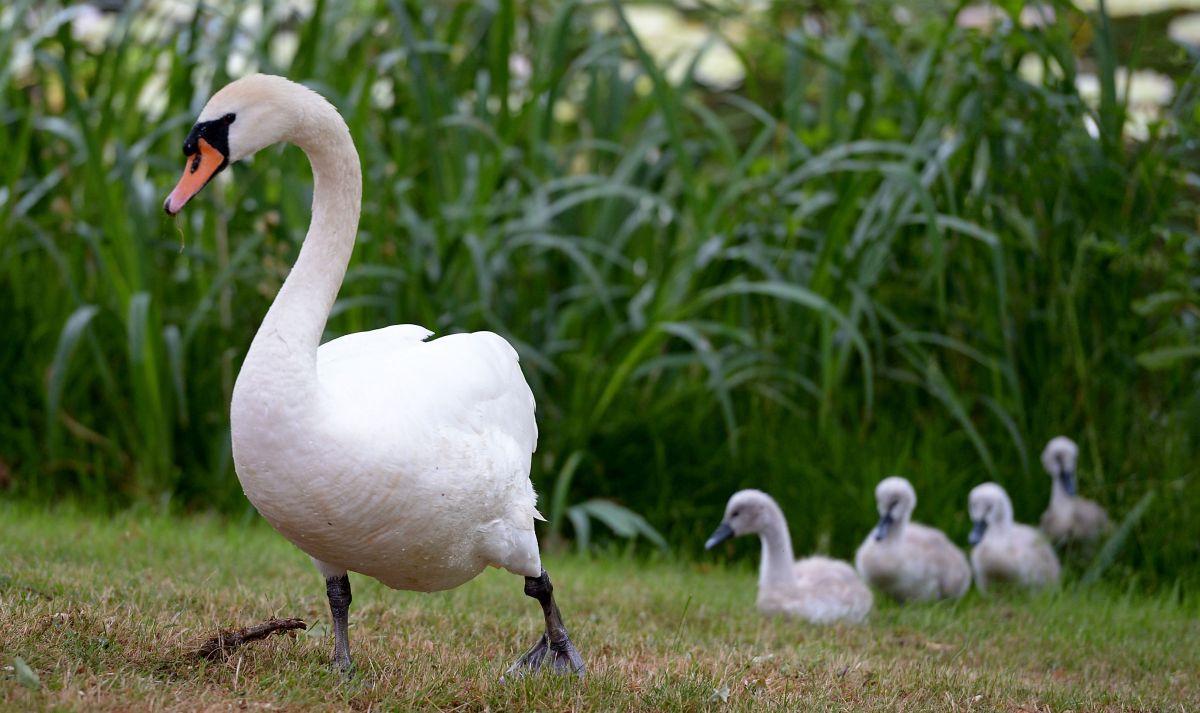 La insólita relación de un cisne y su cuidador se hace viral