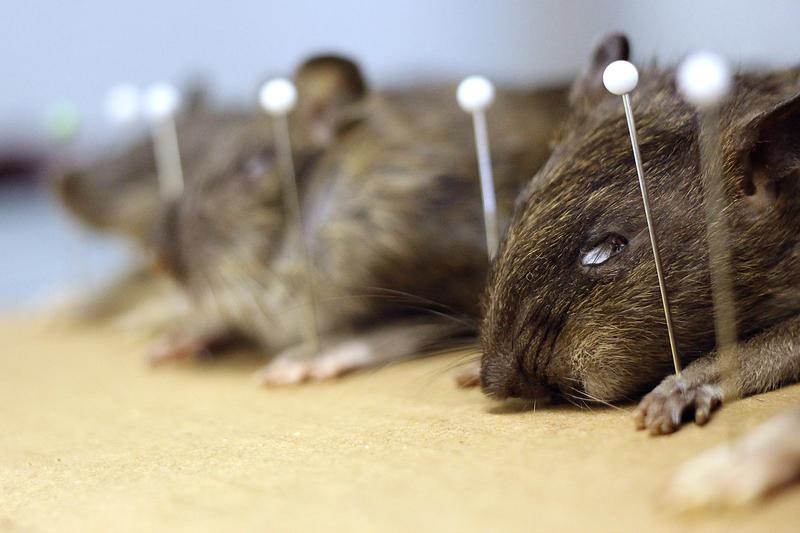 Ratas NYC Matt Combs