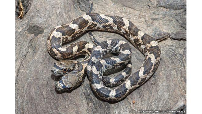 FOTOS: Esta impresionante serpiente de 2 cabezas fue hallada en Kansas