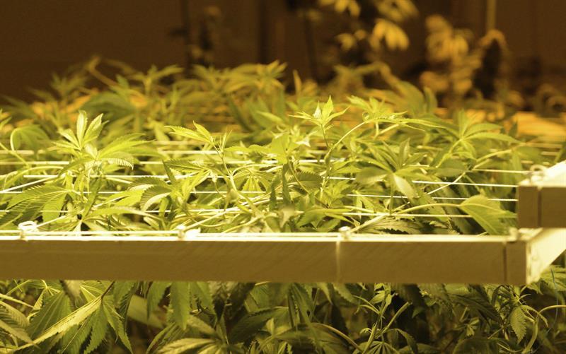 DEA: La marihuana seguirá entre las drogas ilegales para la ley federal