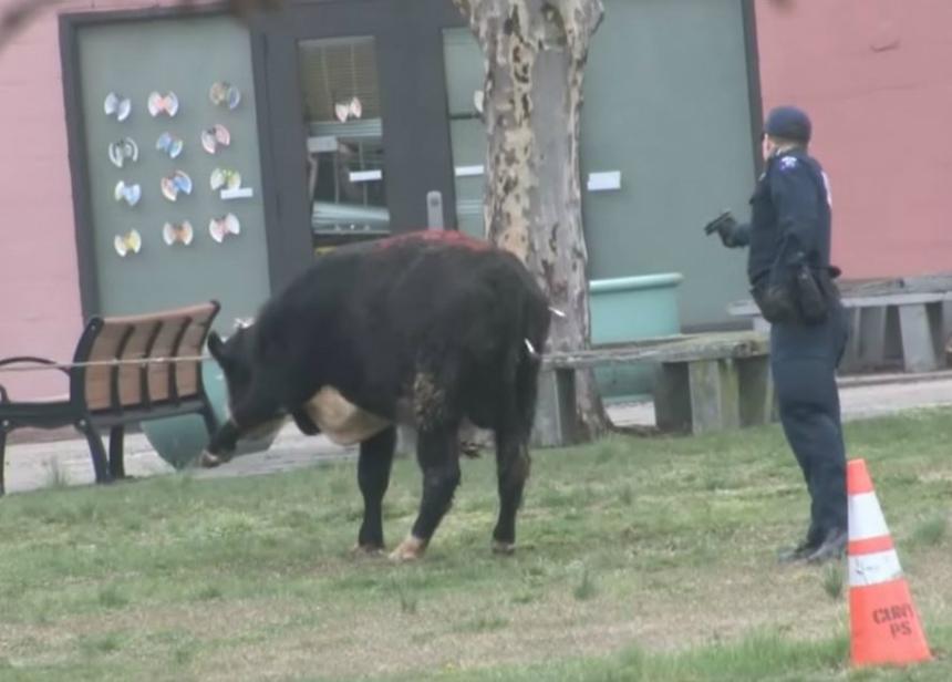 El comediante Jon Stewart salva al toro prófugo de Queens
