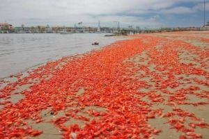 VIDEO: Los pequeños cangrejos que tiñen de rojo las costas de California
