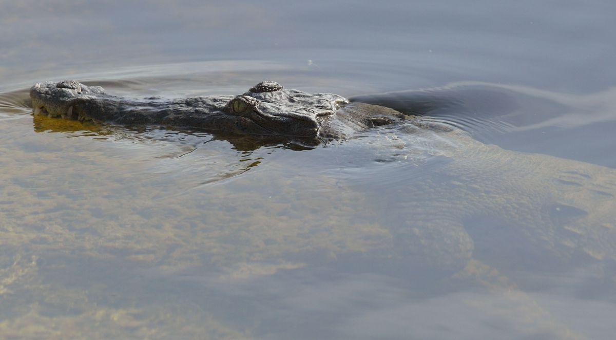 Hallan a un hombre lesionado por el ataque de un cocodrilo en una reserva de Florida