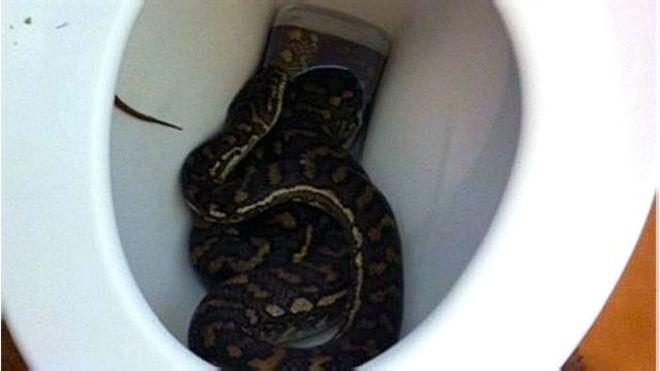 Arañas, ratas y serpientes te pueden sorprender en el inodoro