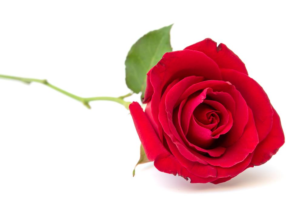 Una rosa que no se marchita es la siguiente modificación de Monsanto