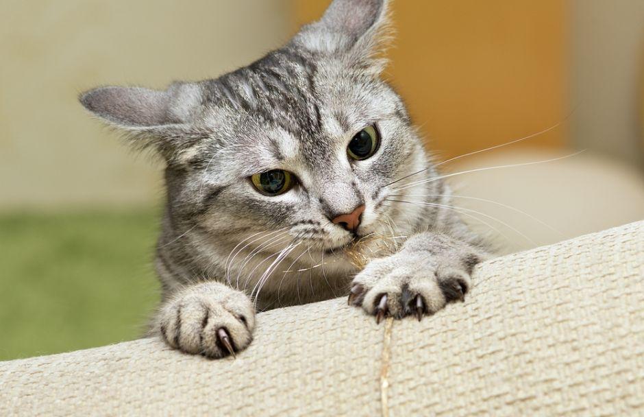 Buscan prohibir la extirpación de uñas a los gatos en NY