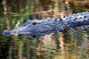 Hallan los restos de la mujer de Florida  que murió por el ataque de un cocodrilo